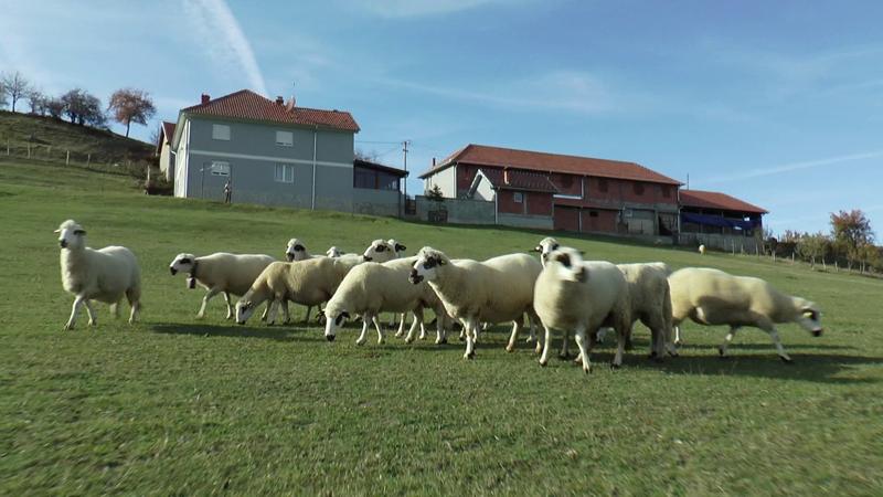 """Радомир мора да плати 250.000 динара јер су његове овце """"изриљале"""" комшијин кромпир"""