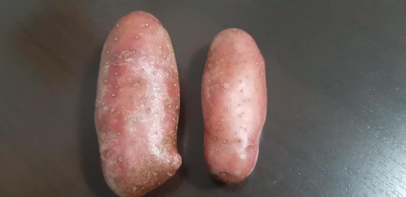 Драгачевци произвели елитно безвирусно семе кромпира