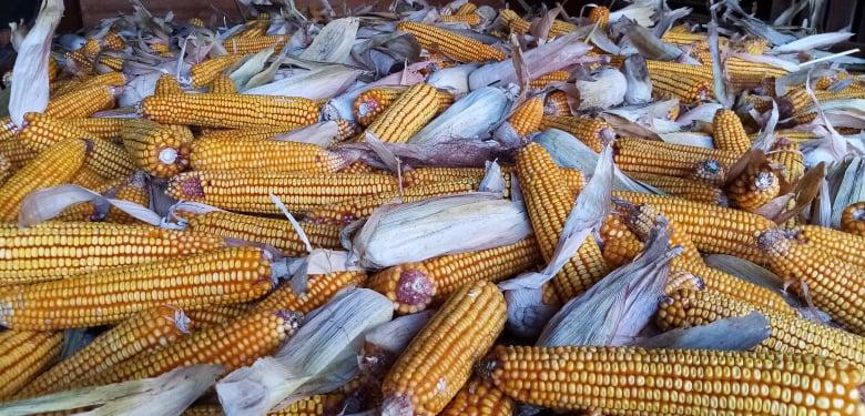 Расту површине под кукурузом, биће милион хектара