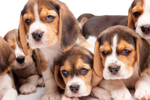 Proud Sponsor of the Beagle Rescue of Southern Maryland