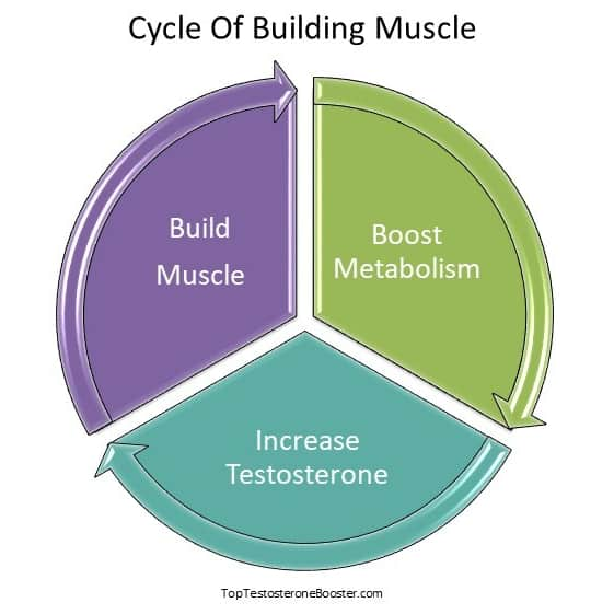 cycle of building muscle graph