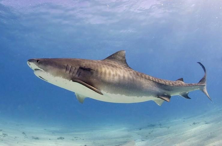 Жолбарыс акуласы