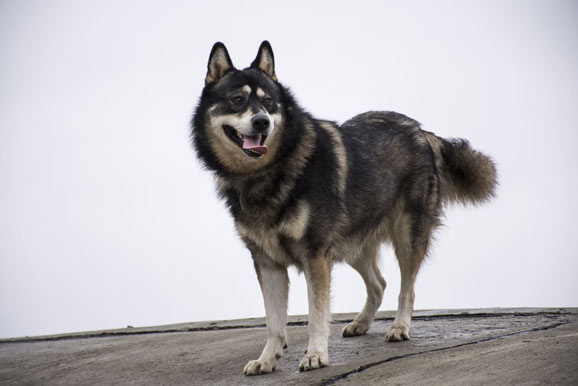 German-Shepherd-Husky-mix-size