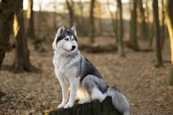 Siberian-Husky-origin