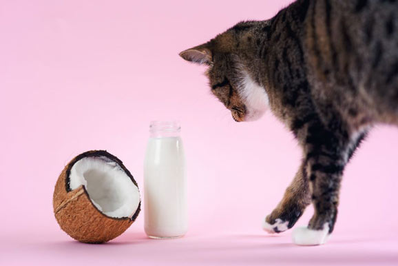 can cat eat coconut milk