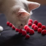 can-cats-eat-raspberries