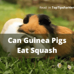Can Guinea Pigs Eat Squash