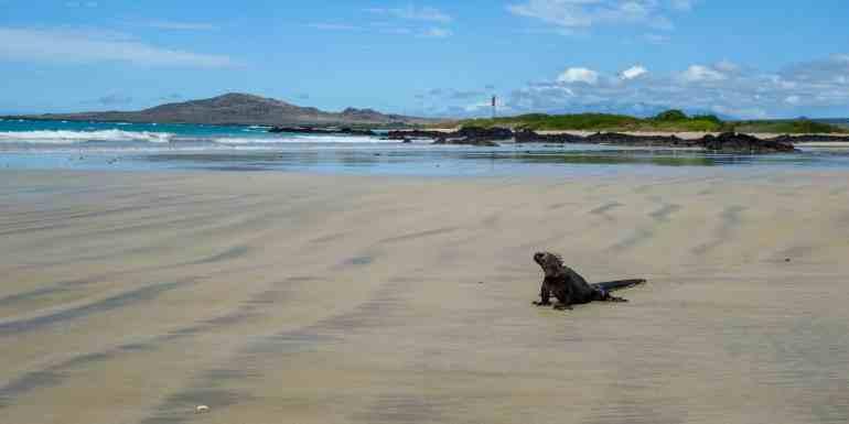Marine iguana on the beach, Isabela Island, Galapagos, Ecuador