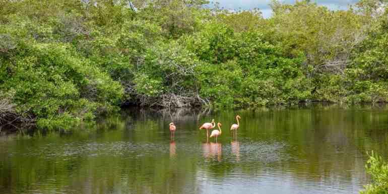 Flamingos on Isabela Island, Galapagos