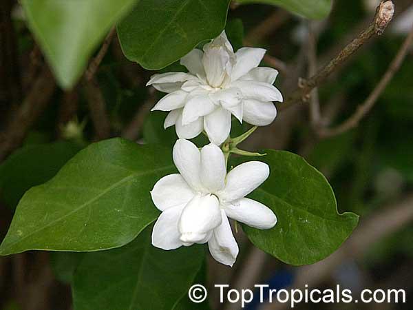 Jasmine Plant Sale