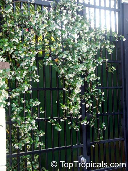 Vine Jasmine White Flower