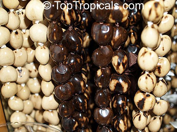 Aleurites Moluccana Aleurites Triloba Croton Moluccanus