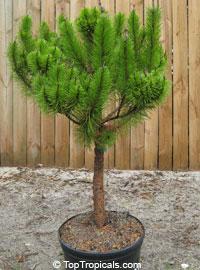 Pinus Clausa Dwarf Sand Pine Sams Hoola Sand Pine