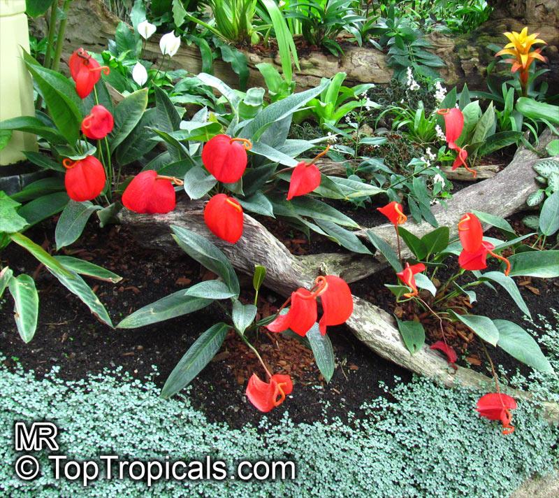 Hawaiian Lava Plant Care