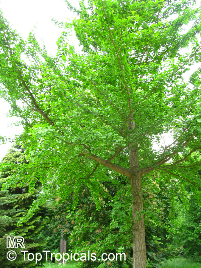 Ginkgo Biloba Fossil Tree Maidenhair Tree Japanese