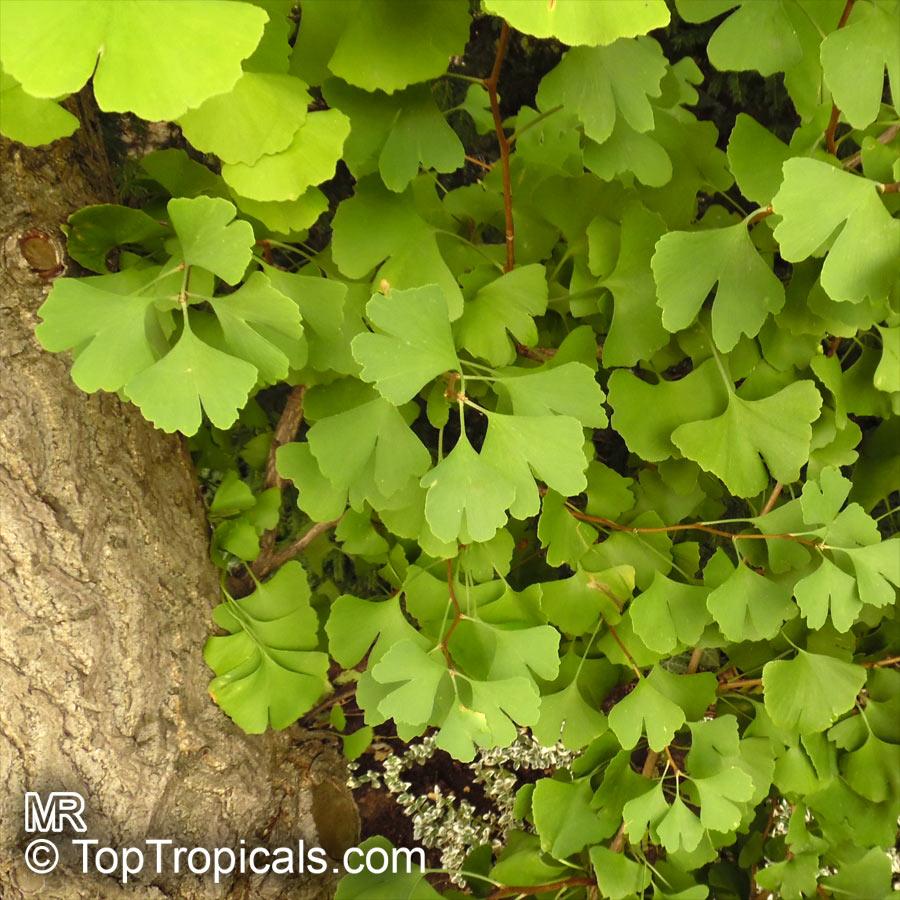 Ginkgo Biloba Fossil Tree Maidenhair Tree Japanese