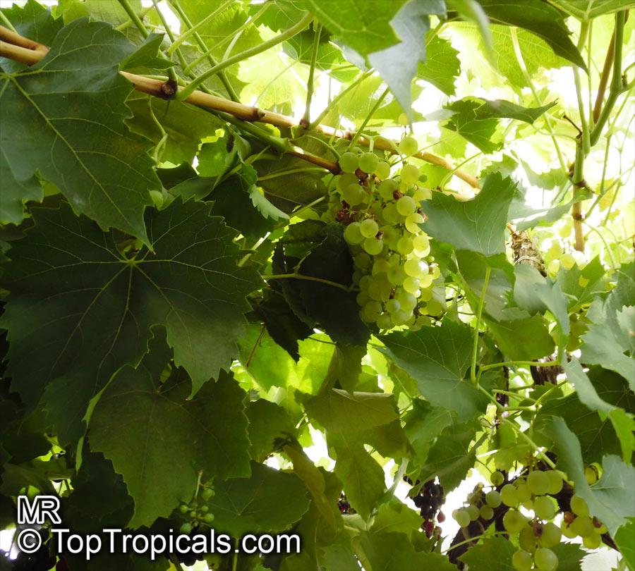 Vitis Vinifera Wine Grape Toptropicals Com