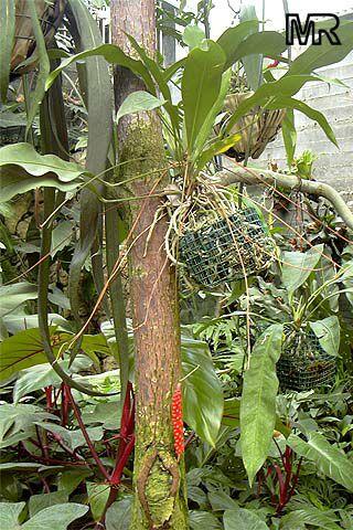 Anthurium Gracile Red Pearls Anthurium Toptropicals Com