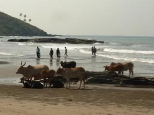 Коровы на Левом Вагаторе