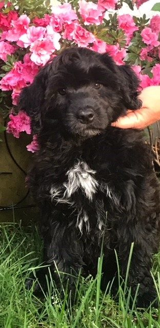 Puppy sitting in front of pink flowers on the grass