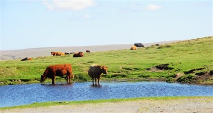 Cows cooling off below Sharpitor