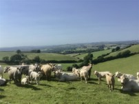 Cattle in the field heading for Greenway