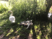 Cygnets in the Clennon Nature Reserve