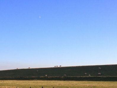 Sheep's walking the bank of Elbe