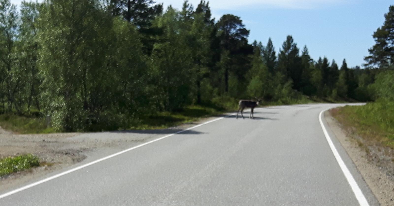 Road hazards with reindeer Finland