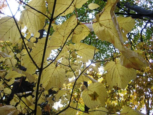 Goosefoot maple in autumn