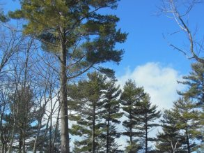Shining pines