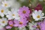 コスモスの種類や花言葉 有名なコスモス畑について!!日本一のコスモス畑とは??