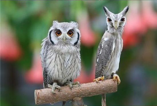Northern-White-faced-Owl04