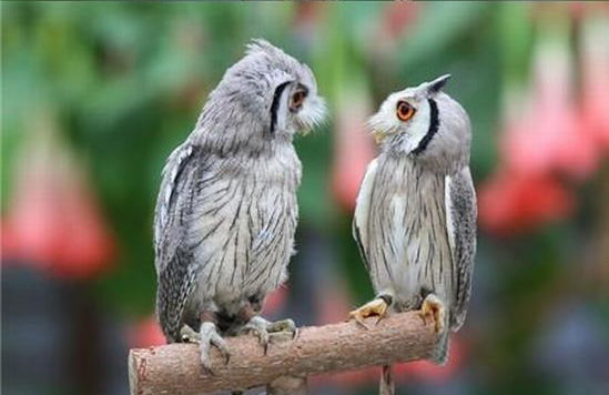 Northern-White-faced-Owl05