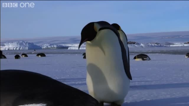 emperor penguins01