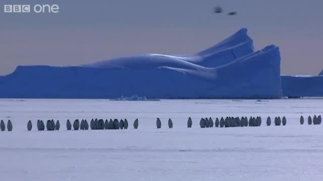 emperor penguins05