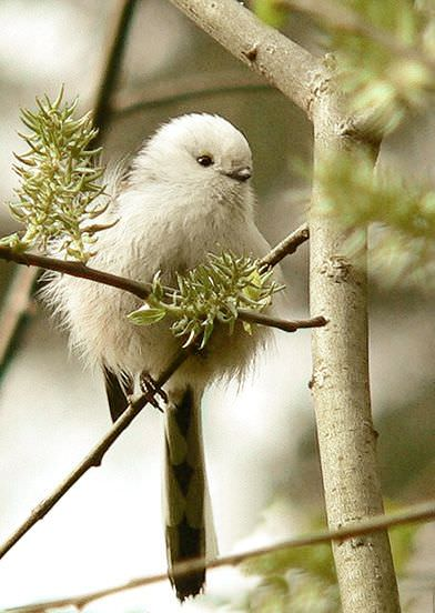 まんまるな鳥の写真14枚!006