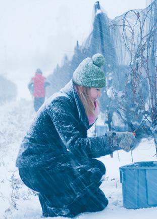 アイスワイン醸造のため、真夜中に凍ったぶどうを手摘みする生徒