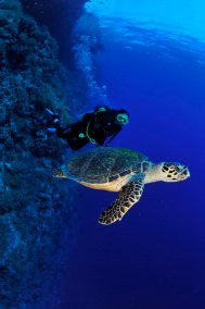 Diver and Turtle (681x1024)