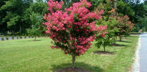 how-plant-balled-and-burlapped-tree-1