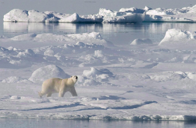Two High Arctic Polar Bear Populations Larger Than