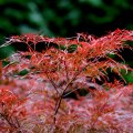 Japenese Maple 'Crimson Queen'