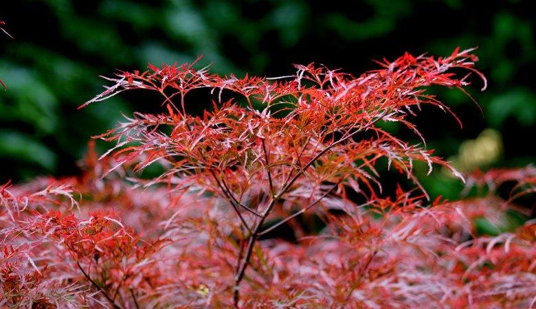 Japenese Maple 'Crimson Queen'