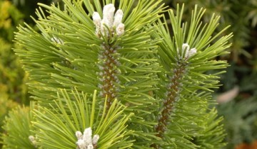 Pinus mugo 'Green Candle'