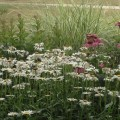 Leucanthemum 'Becky' Toronto Island WTP Garden