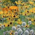 pauls picks Rudbeckia subtomentosa 'Henry Eilers'