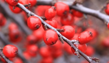 winter-berries