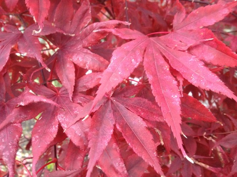Acer palmatum 'Bloodgood' (Japanese maple)