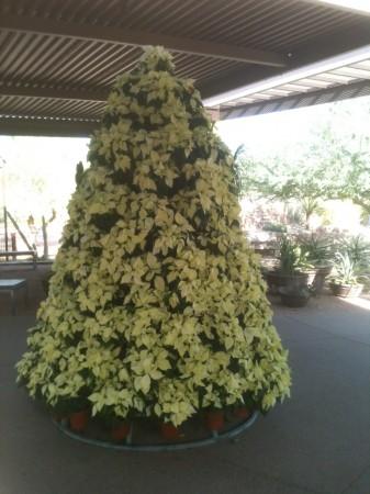 Euphorbia pulcherrima (Poinsettia)
