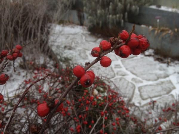 Cotoneaster nanshan 'Boer' Terrace Garden January 21, 2013